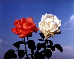 rosa_abranca_e_vermelha